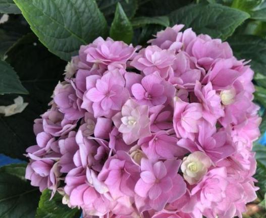 绣球花总是不开花 试试这些方法 绣球花不开花的原因