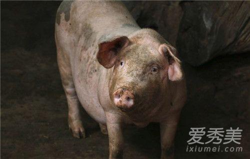 内蒙发生非洲猪瘟怎么回事 猪肉还能吃吗-汇美优普-热门搜索话题榜